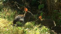 Forest Rabbits Feed In Redwood National Park