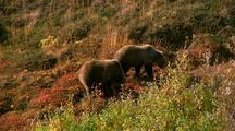 Grizzly Bears Graze On Tundara, Denali National Park