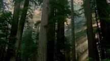 Sunbeams Through Trees, Redwood National Park