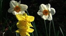 Spring Flowers, Daffodils