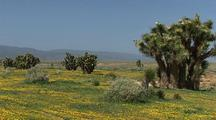 Field Of Spring Wildflowers Among Joshua Trees