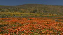 Field Of Spring Wildflowers Among Joshua Trees