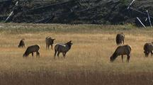 Herd Of Elk Grazing, Yellowstone National Park