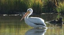 White Pelican In Yellowstone National Park