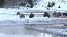 Bison At Hot Springs, Yellowstone National Park