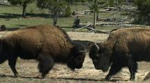 Bison Fighting In Yellowstone National Park