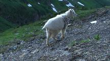 Mountain Goat Climbs Up Slope In Glacier National Park