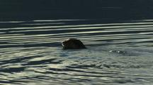 Otter Swims, Dives In Lake Mcdonald, Glacier National Park