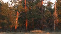 Grand Canyon, Forest Lit By Sunrise