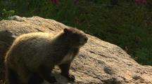 Marmot Rests On Rock