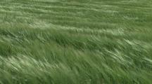 Wheat Field Blowing In Wind, Palouse Washington