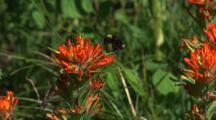 Bee On Indian Paintbrush Wildflower