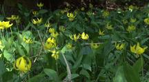 Field Of Glacier Lily Wildflowers