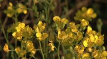 Yellow Wildflowers, Possibly Creosote Bush
