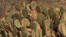 Desert Scenic With Prickly Pear Cactus