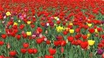 Tulip Farm, Oregon