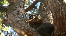Close-Up Of Raccoon In Tree