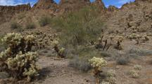 Walking Through Organ Pipe Cactus National Monument, Teddy-Bear Cholla
