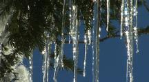 Melting Icicles Hang From Tree At Crater Lake