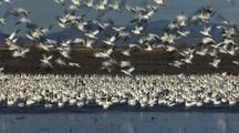 Snow Geese Take Flight At Klamath Wildlife Refuge