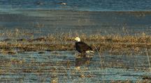 Bald Eagle At Klamath Wildlife Refuge