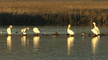 White Pelicans Grooming In A Row
