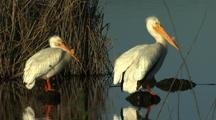 White Pelicans Standng In A Row