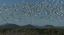 Snow Geese At Klamath Wildlife Refuge