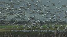 Snow Geese Land At Klamath Wildlife Refuge