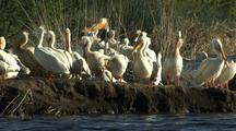 Pelicans Gather At Klamath Wildlife Refuge