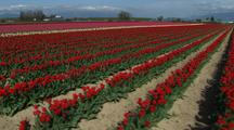 Walking Through Field Of Flowers At Tulip Farm