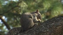 Squirrel In Tree Feeding