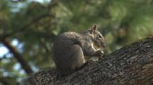 Squirrel In Tree Feeding, Jumps Away