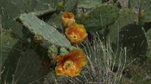 Prickly Pear Cactus With Orange Flowers
