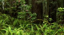 Pink Rhododendrons Among Ferns In Redwood Forest