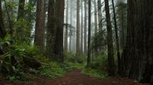 Path Through Redwood National Park