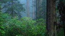 Redwood Forest Scene With Rhododendrons In Fog