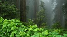Redwood Forest Scene In Fog