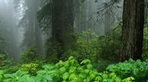 Panoramic View Redwood Forest