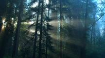 Light Rays Stream Through Redwood Trees
