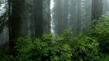 Redwood Forest Scene In Fog, Bright Green Shrubs