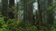 Redwood Forest Scene With Shrubs