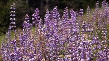Field Of Purple Lupine Flowers