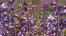 Close-Up Of Purple Lupine Flowers