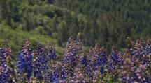 Field Of Purple Lupine Flowers, Redwood Forest In Distance