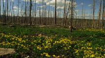 Field Of Yellow Wildflowers And Dead Trees