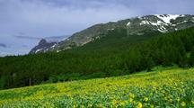 Sunflower Field With Mountains And Forests Behind