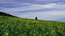 Field Of Sunflowers In The Wind