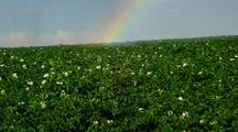 Potato Field With Water Irrigation And Rainbow
