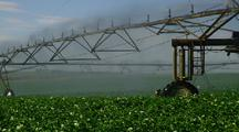 Potato Field With Water Irrigation